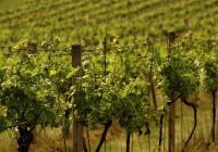Putování po vinicích Velkých Žernosek a Žalhostic