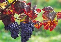 Obec Kuks ve znamení vína