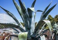 Dvě obří agáve se nově zabydlely v botanické zahradě v Troji