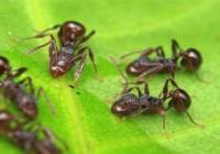 Rostlinné příbytky pro mravence