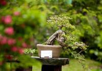 Japonská dokonalost pod pražským nebem. Trojská botanická zahrada vystaví bonsaje