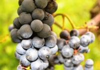 Zámecké vinobraní - Domousnice
