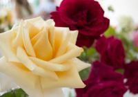 Slavnosti růží na zámku Veltrusy