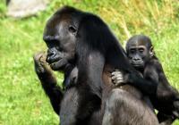 Mezinárodní den goril v Zoo Praha