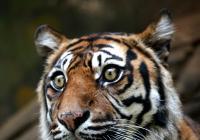 Mezinárodní den tygrů v Zoo Brno