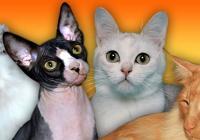 Mezinárodní výstava ušlechtilých koček