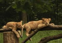 Světový den lvů v Zoo Brno