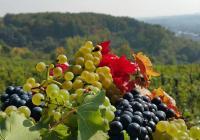 Vinobraní na Máchalce