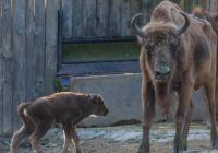 Rozloučení se samicí zubra Prťkou v Zoo Praha
