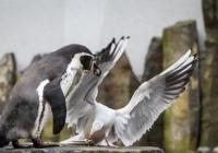 Tučňáčí občanky v Zoo Praha