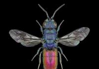 Pavel Krásenský / Vědecká ilustrace a fotografie v entomologii