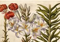 Přednáška | Botanická ilustrace v 17. a 18. století