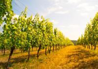 Na kole vinohrady Uherskohradišťska