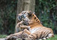 Křtiny tygříků v Zoo Zlín
