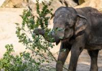 Narozeniny slonice Gulab v Zoo Praha