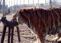Narozeniny tygra Rockyho v Zoo Tábor