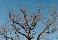 Břilický dub