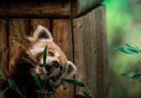 Mezinárodní den pand červených v Zoo Brno