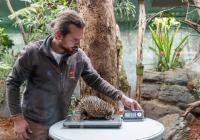 Vzácné mládě ježury australské v Zoo Praha