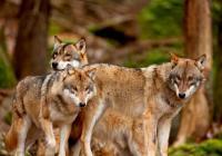 Vlci na hranicích
