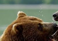 Ozvěny EKOfilmu: Medvědi z Kamčatky. Život začíná.