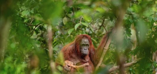 Fotografií roku je orangutanice s umírajícím mládětem od Lukáše Zemana. Czech Press Photo 2018 zná vítěze