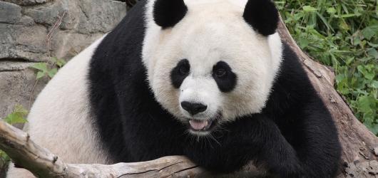 Zoo jsou online i ve světě. Podívejte se na pandy velké, hrošici malující obrazy nebo do podmořského světa