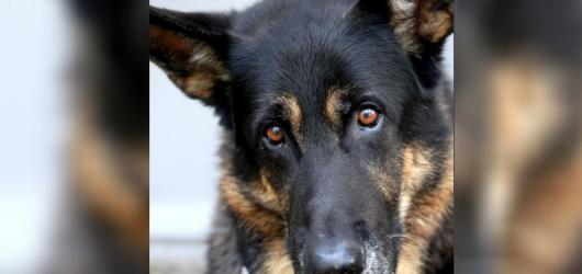 SOUTĚŽ: Egon: Děsná psina. Vyhrajte knihu napsanou pohledem stárnoucího německého ovčáka