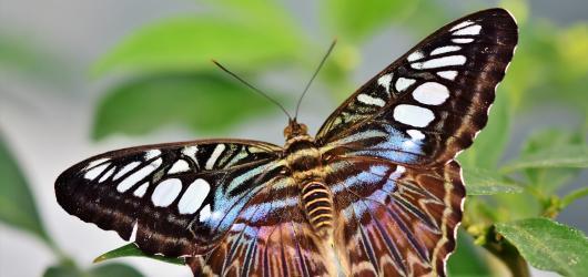Motýli na dosah ruky: čeští i tropičtí, živí i na fotografiích