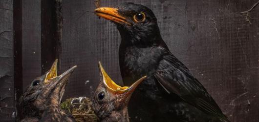 Czech Nature Photo zná své vítěze. Letos si titul odnesl Igor Mikula se snímkem kosů
